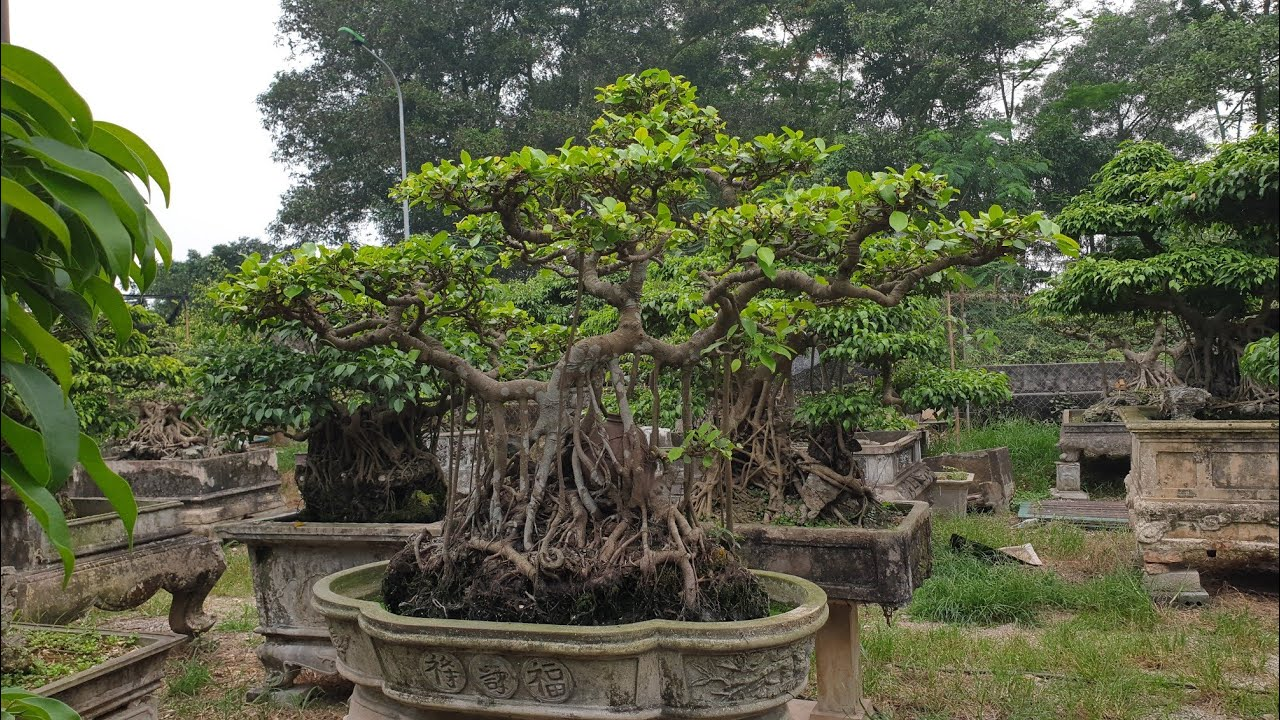 SH.2697.Cây Si ôm Lọ sành cổ Bonsai nghệ thuật vườn Phạm bá Dần.Kiêu kỵ.Hưng Yên