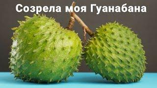 Экзотический фрукт Гуанабана (Саусеп/Аннона/Сметанное яблоко) Tropical fruit Guanabana. Доминикана
