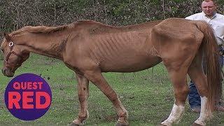 Houston SPCA Rescues 5 Emaciated Horses!   Animal Cops Houston