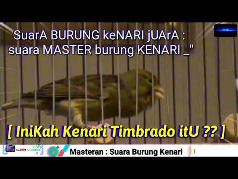 """suara-burung-kenari-juara-:-suara-master-burung-kenari-_""""[-inikah-kenari-timbrado-itu]""""_,-...??-]"""