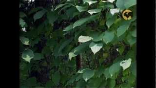 видео Выращиваем экзотические растения - Актинидия коломикта
