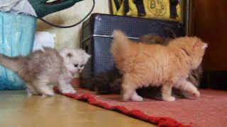 Персидские котята   DSCF0492