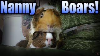 Nanny Boars