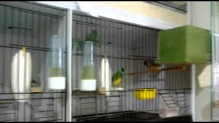 Gouldian Finches ( Gökkuşağı İspinozu ) & Other Finches  22.09.2011