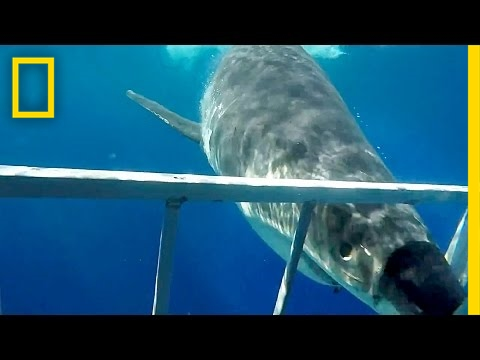 Close Call: Great White Shark Collides With Diving Cage | National Geographic
