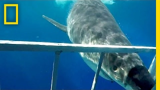 Close Call  Great White Shark Collides With Diving Cage | National Geographic