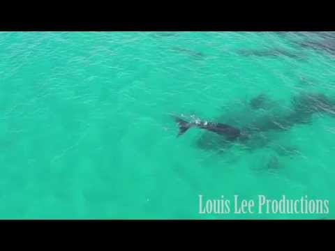 Southern Right Whales Aerial Footage at Point Ann in West Australia