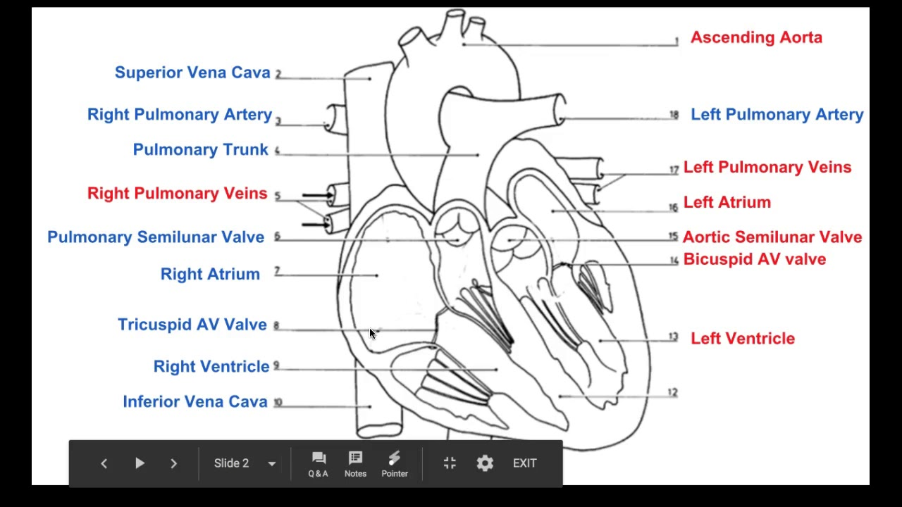 Biology 20 Labelling The Heart