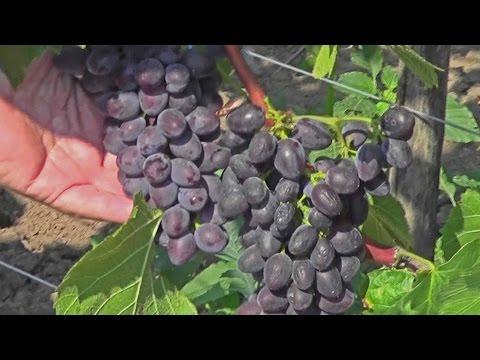 Саженцы винограда купить оптом и в розницу почтой, в