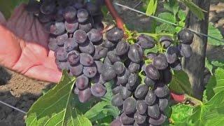 видео Сорта и особенности выращивания винограда