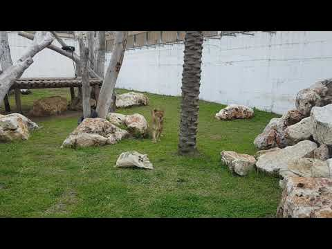 A pair of Barbary lions and their enclosure