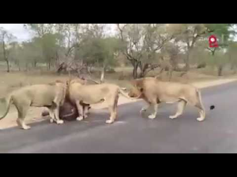 Live hunting on state highway Gir National park