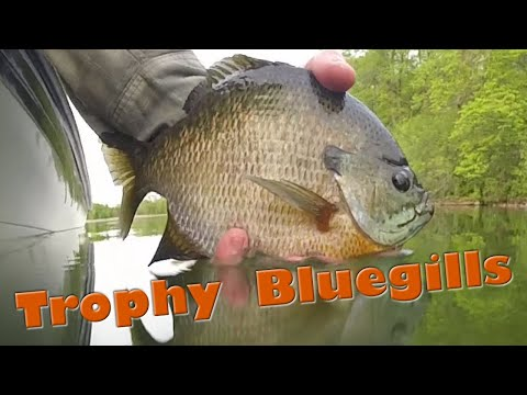 Trophy Spring Bluegills On Beds Using Humminbird 360