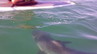 great white sharks el porto surfers have close encounter with multiple sharks