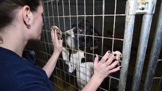 84 Great Danes Rescued From Suspected 'Puppy Mill' Mansion thumbnail