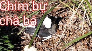 Rình thấy con chim bự chà bá trong công viên Cabra-Vale Park