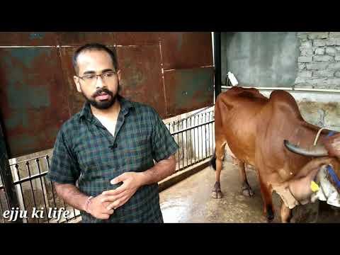Nandani Gir cow Dairy Farm Delhi ~ pure A2 Milk Farm part2