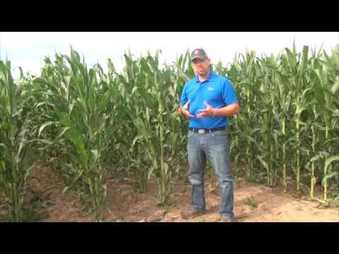 Corn School  - Tillering