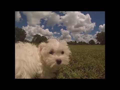 Maltese Puppies For Sale In Florida Miami Orlando Sarasota