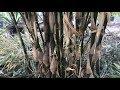 Running VS Clumping Bamboo
