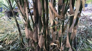 Running VS Clumping Bamboo