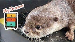 カワウソ コタロー 閉めるなぁ〜!妖怪引き出し小僧 Kotaro the Otter  Opening Drawer thumbnail