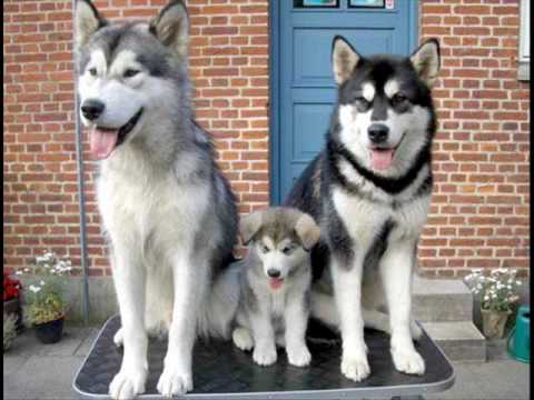 Huskies Singing In Living Room