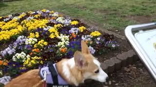 3月17日(土曜日) コーギーのゆめ君、静岡で桜を探しながら散歩をしま...