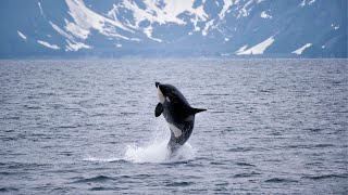 DID YOU KNOW Orcas Live in All Oceans  Oceana