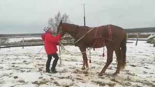 Приучение молодой лошади к работе на вожжах.