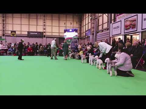 Crufts 2018 Bedlington Terrier Dog CC
