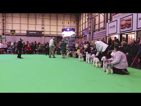 Crufts 2018 Bedlington Terrier Dog CC