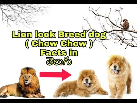 Chow Chow dog Facts in Telugu | Taju logics