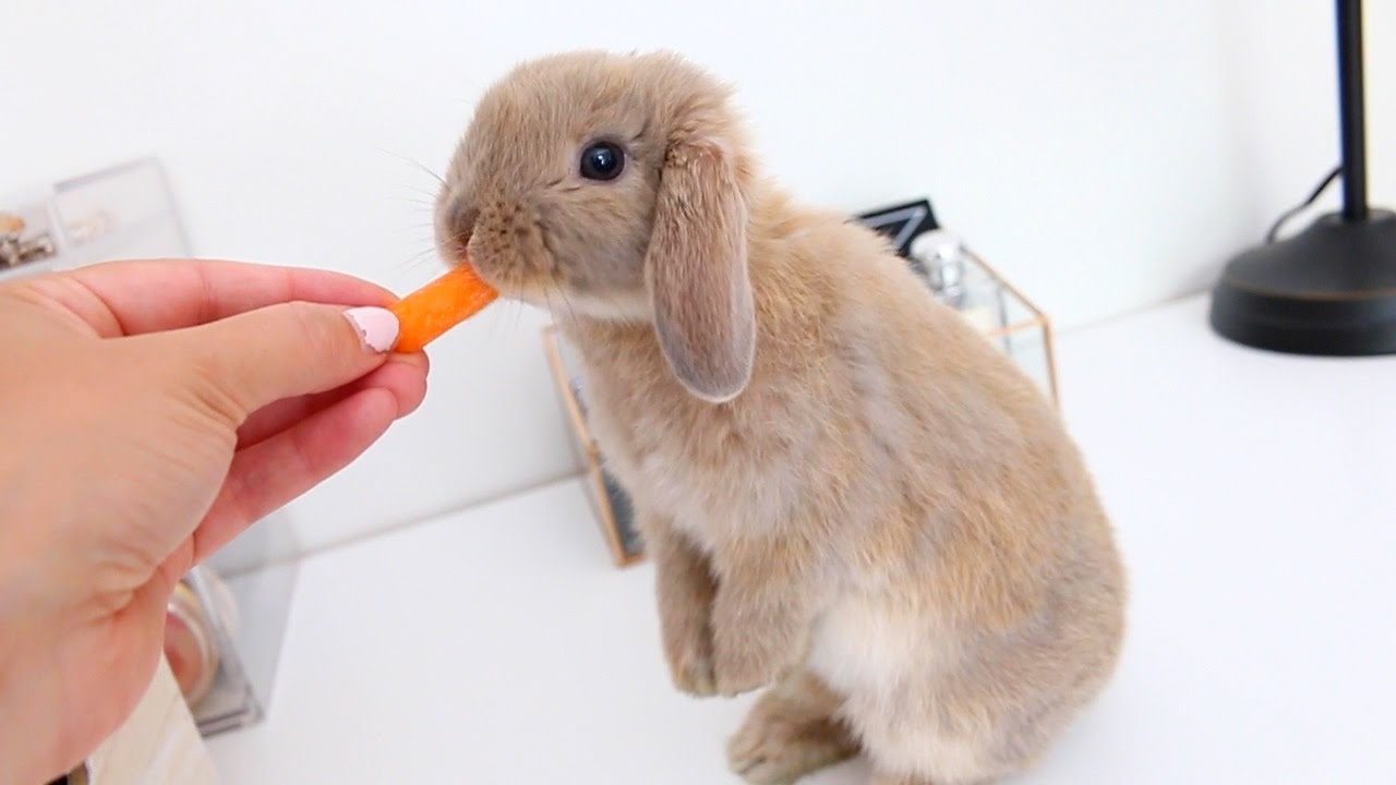 Meet Marshmallow My Adorable Holland Lop Bunny - YouTube