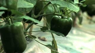 Shimla Mirch or Capsicum