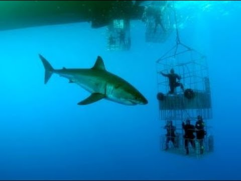 Guadalupe Great White Shark Cage Diving Nautilus Charters