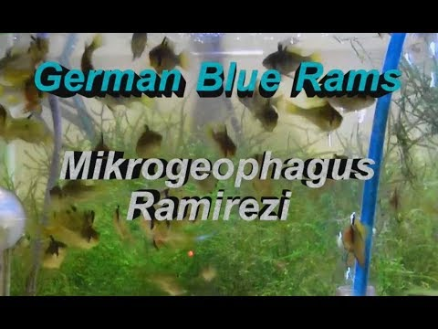 Mikrogeophagus Ramirezi 3 months old