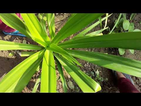 Sudarshan plant ke medicinal and ayurvedic  benefits _it's care and propagation