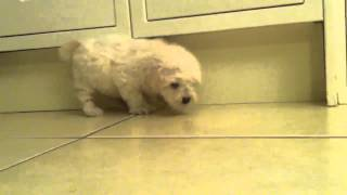 Leo - Bichon Frise / Poodle Cross Puppy