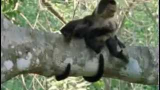Monkey Insect Repellent   The Life of Mammals   BBC