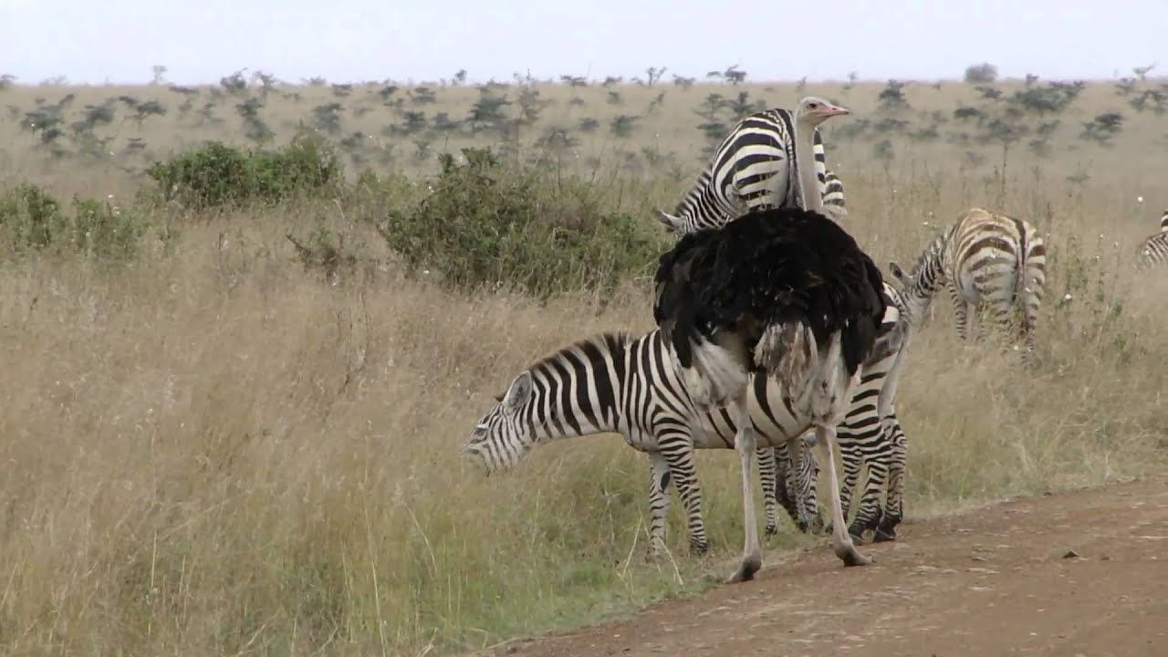 Ostrich And Zebras YouTube