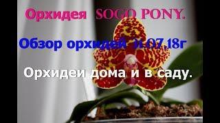 Phalaenopsis Sogo Pony.  Обзор орхидей  дома и в саду.Конец июля.