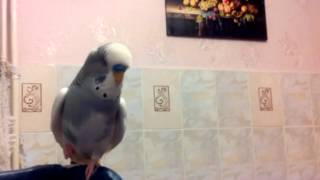 попугай    Яша!!!ну очень много говорит!