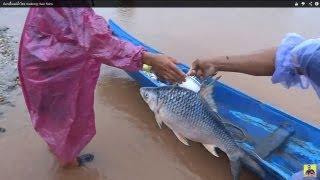 ปลาเพ ยแม น ำโขง mekong river fishs