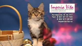 Большие кошки Мейн кун (Main coon). Питомник в Челябинске.