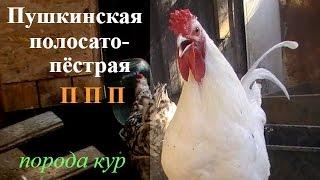 видео Пушкинская порода кур