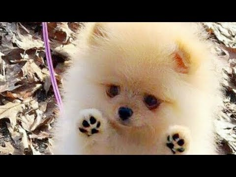 cutest-pomeranian-puppies-compilation