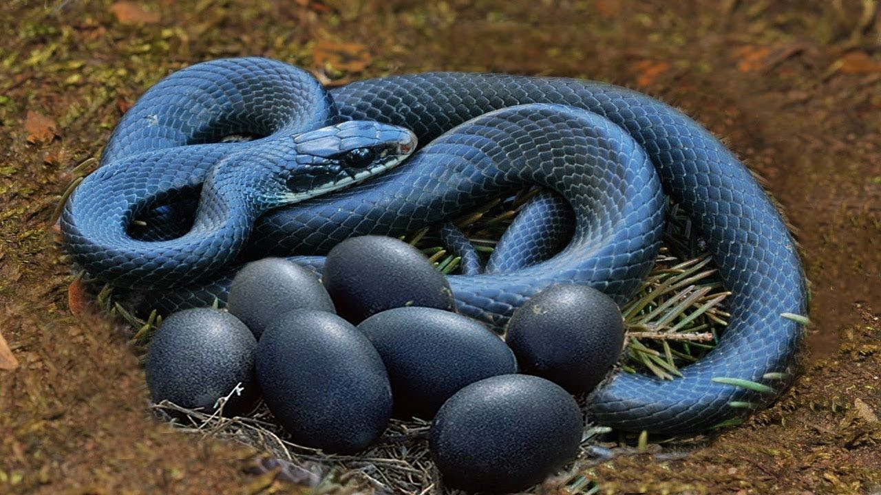 Snake giving birth or laying eggs?