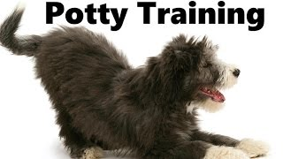 How To Potty Train A Bearded Collie Puppy - Bearded Collie House Training - Bearded Collie Puppies