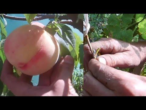 Самое оптимальное время для прививки фруктового сада / Прививка почкои и под кору